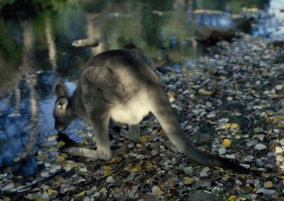 Drinking Wallaby
